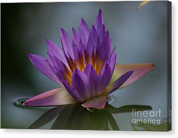 Water Lily Canvas Print by Rachel  Harris