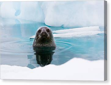 Weddell Seal Looking Up Out Of The Water, Antarctica Canvas Print by Mint Images/ Art Wolfe
