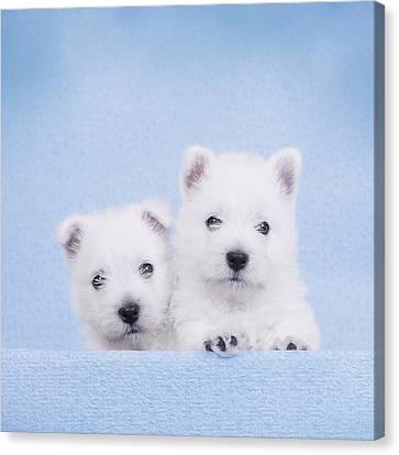 West Highland White Terrier Puppies Canvas Print by Waldek Dabrowski