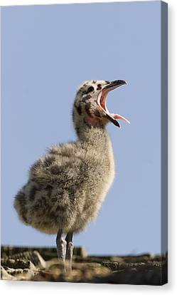Western Gull Chick Begging For Food Canvas Print by Sebastian Kennerknecht
