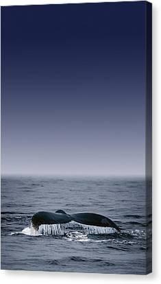 Whales Fluke Canvas Print by Darren Greenwood