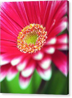 What A Daisy Canvas Print by Kathy Yates