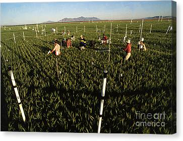 Wheat And Elevated Carbon Dioxide Canvas Print by Science Source
