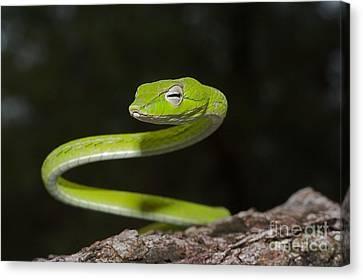 Whip Snake Canvas Print by Gary Bridger