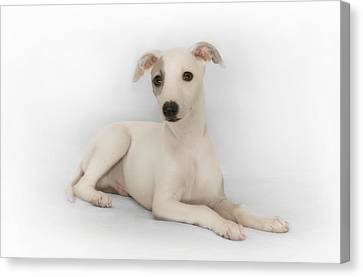 Whippet Puppy Canvas Print by John Clum