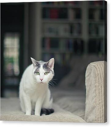 White And Grey Cat On Couch Looking At Birds Canvas Print by Cindy Prins