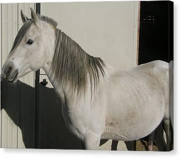 White Arabian Stallion Sunbathing Canvas Print by Burkhard Eichberger