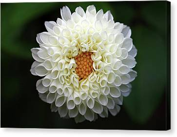 White Beautiful  Dahlia Canvas Print by Photography by Dalang5
