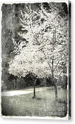 White Blooming Tree Canvas Print by Danuta Bennett