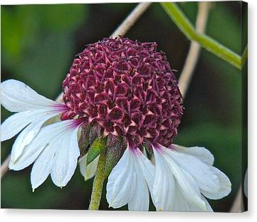 White Coneflower Canvas Print by Eve Spring