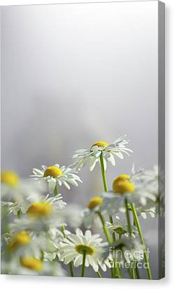White Daisies Canvas Print by Carlos Caetano