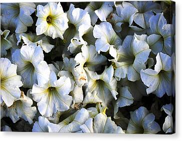 White Flowers At Dusk Canvas Print by Sumit Mehndiratta