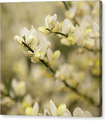 White Fragrant Flower Close Up Canvas Print by by Samia Mohammed