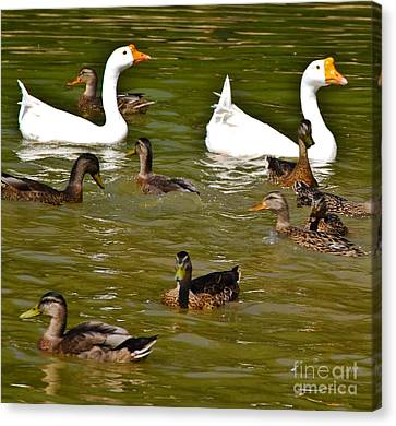 White Geese And Ducks Canvas Print by Harry Strharsky
