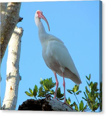White Ibis In The Treetop Canvas Print by Judy Via-Wolff