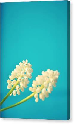 White Muscari Flowers Canvas Print by Photo by Ira Heuvelman-Dobrolyubova