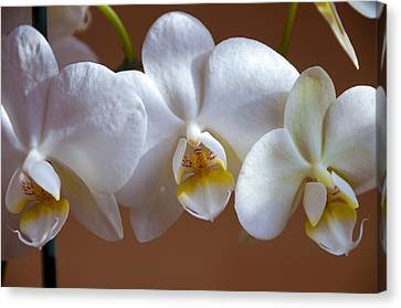 White Orchid  Canvas Print by Svetlana Sewell