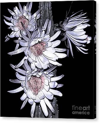 White Pink Cereus Flowers - Digital Art Canvas Print by Dolores Root