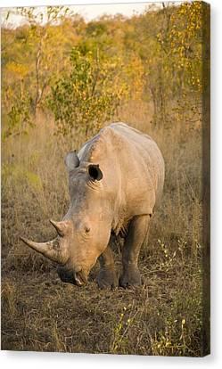 White Rhinoceros Ceratotherium Simum Canvas Print by Stuart Westmorland