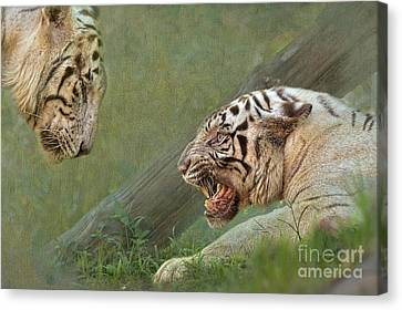 White Tiger Growling At Her Mate Canvas Print by Louise Heusinkveld