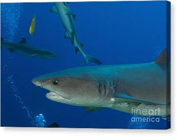 Whitetip Reef Shark, Papua New Guinea Canvas Print by Steve Jones