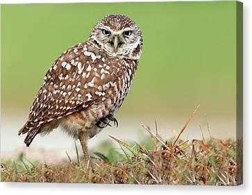 Wild Burrowing Owl Balancing On One Leg Canvas Print by Mlorenzphotography