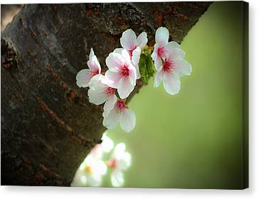 Wild Cherry Blossom Canvas Print by Emanuel Tanjala