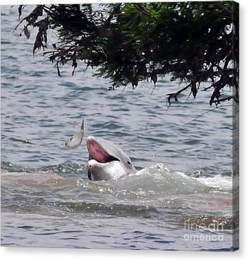 Wild Dolphin Feeding Canvas Print by Paul Ward