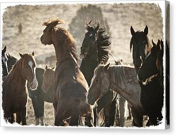 Wild Horse Battle D1713 Canvas Print by Wes and Dotty Weber