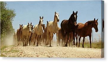 Wild Horses Canvas Print by Antonio Arcos Aka Fotonstudio Photography