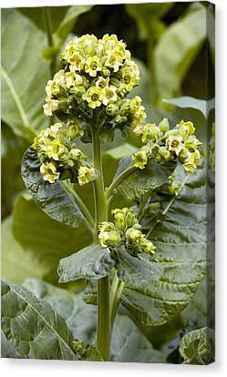 Wild Tobacco (nicotiana Rustica) Flowers Canvas Print by Bob Gibbons