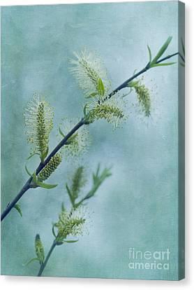 Willow Catkins Canvas Print by Priska Wettstein