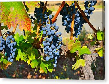 Wine Country Canvas Print by Gloria Wannow