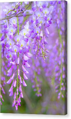 Wisteria Flowers In Bloom Canvas Print by Natalia Ganelin