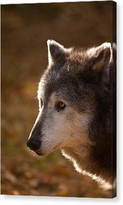 Wolf Outlined By The Sun Canvas Print by Karol Livote