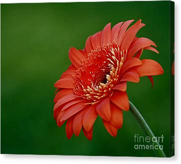 Wonder Of Nature Gerber Daisy Canvas Print by Inspired Nature Photography Fine Art Photography