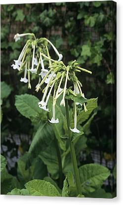 Woodland Tobacco (nicotiana Sylvestris) Canvas Print by Adrian Thomas