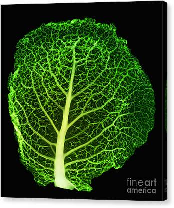 X-ray Of Cabbage Leaf Canvas Print by Ted Kinsman