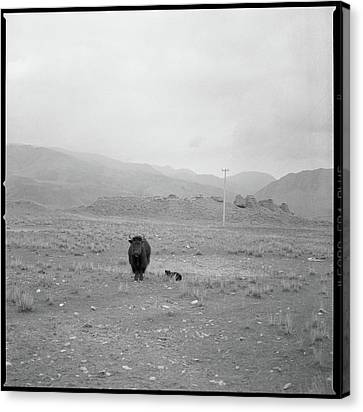 Yak In Grassland Canvas Print by Oliver Rockwell