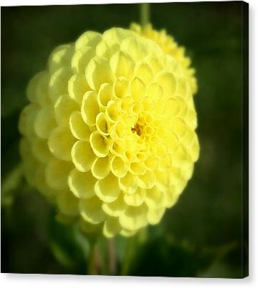 Yellow Dahlia Canvas Print by Cathie Tyler