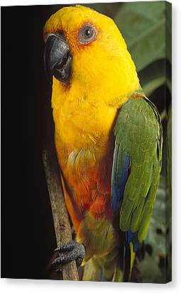 Yellow-faced Parrot Amazona Xanthops Canvas Print by Claus Meyer
