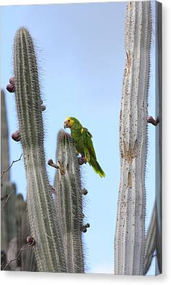 Yellow-headed Amazon Parrot, Amazona Canvas Print by George Grall