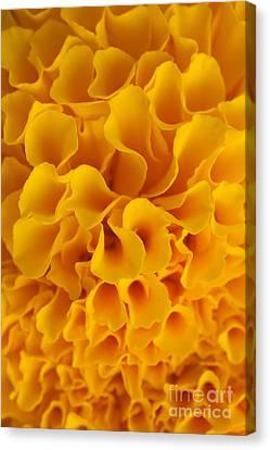 Yellow Marigold Macro View Canvas Print by Atiketta Sangasaeng