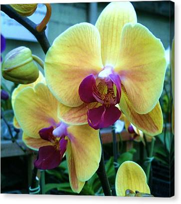 Yellow Orchid In It's Own Glory Canvas Print by Shawn Hughes