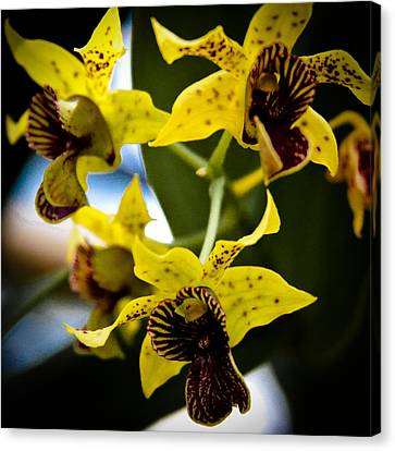 Yellow Orchids Canvas Print by David Patterson