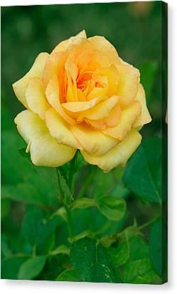 Yellow Rose Canvas Print by Atiketta Sangasaeng