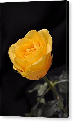 Yellow Rose On Black Background Canvas Print by Déco'Style Balexia87