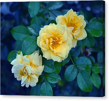 Canvas Print featuring the photograph Yellow Roses by Rodney Campbell