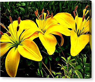 Yellow Triad Of Lilies Canvas Print by Kevin D Davis
