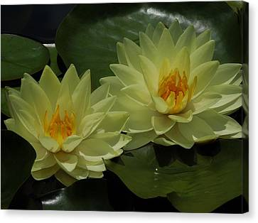Yellow Water Lilies Canvas Print by Chad and Stacey Hall